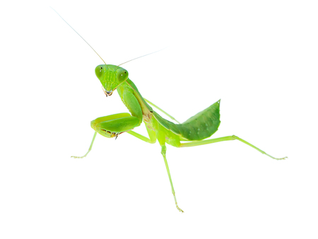 Close up Mantis on white background (Tenodera sinensis)