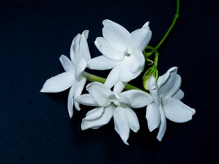 Close up of white jasmine flower on dark background. Stock Photo
