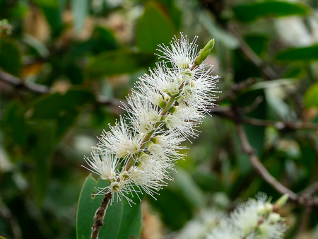 Close up white flower of Cajuput tree, Milk wood, Paper bark tree (Melaleuca quinquenervia).