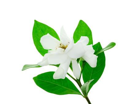 The white flower of Gardenia jasminoides with leaf on white backgrund.
