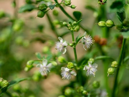 Close up of Scoparia dulcis plant