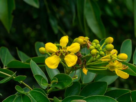 Close up Cassod tree or Senna siamea flower on tree.