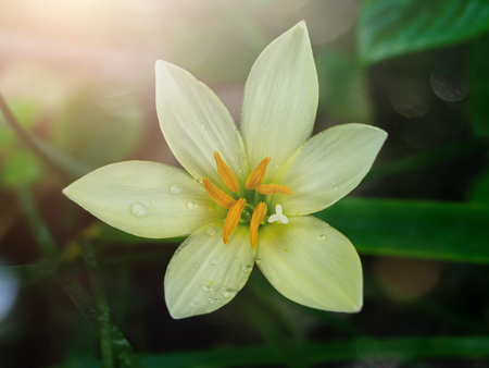 Beautiful rain lily flower (Zephyranthes Lily) in dark background with soft light.