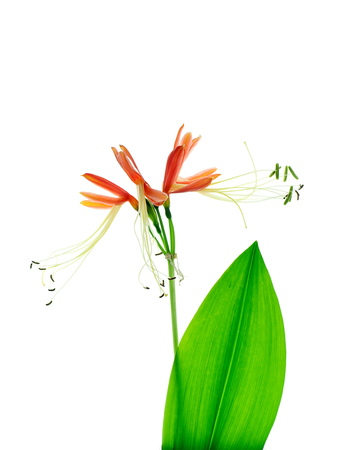 Close up of Queen lily flower (Eucrosia bicolor Ker Gawl plant) with leaf on white background. Foto de archivo
