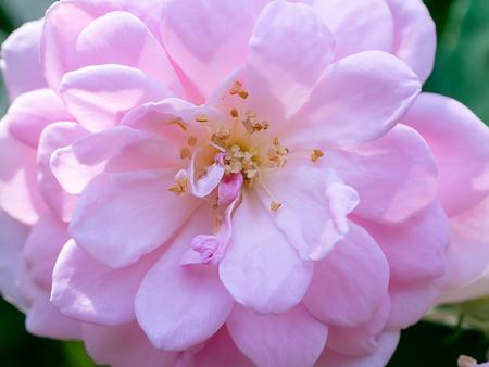 Close up pink of Damask Rose flower with leaves on blur background. (Rosa damascena)
