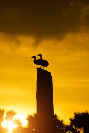 Silhouette of two Anatidae duck on the stump with orange sky and sunlight. Stock fotó