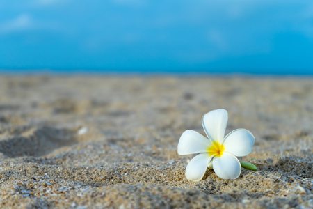 Close up yellow and white frangipani flower on the beach with blur background
