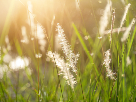Soft focus of Blady grass with sunlight and floating light. (Imperata cylindrica plant) Banco de Imagens