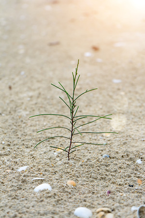 Seedlings of pine trees growing on sand with sunlight and blur background. Stock fotó