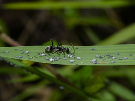 The black ants are taking care of the larvae of the aphids with blur background. Stock Photo