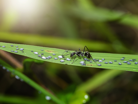 The black ants are taking care of the larvae of the aphids with blur background. 写真素材