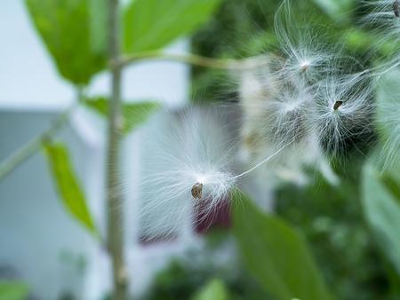 Close up seeds of violet Crown flower or Calotropis gigantea.