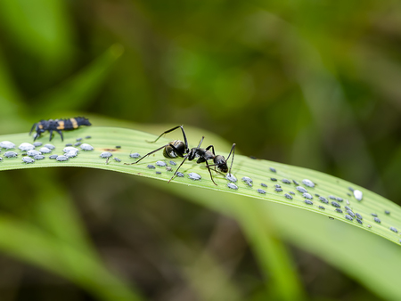 The black ants are taking care of the larvae of the aphids.