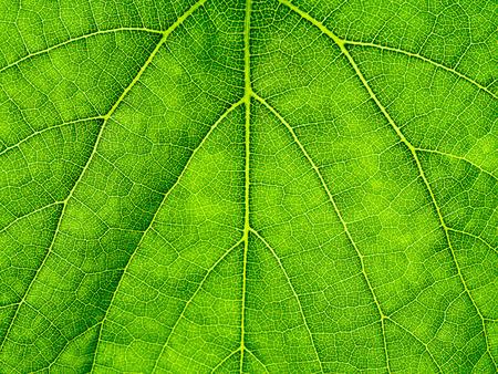 Macro of green grape leaf background.