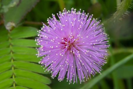 Gros plan sur une fleur de plante sensible, une plante endormie ou l'arbre touch-me-not (Mimosa pudica) en feuille verte. Banque d'images