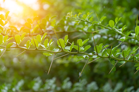 Close up leaves and thorn of Feroniella lucida tree with sunlight. 스톡 콘텐츠