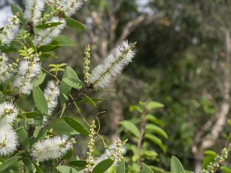 Close up fleur blanche d'arbre Cajuput, bois de lait, écorce de papier (Melaleuca quinquenervia). Banque d'images