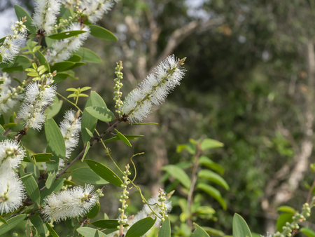 Close up white flower of Cajuput tree, Milk wood, Paper bark tree (Melaleuca quinquenervia). Banco de Imagens