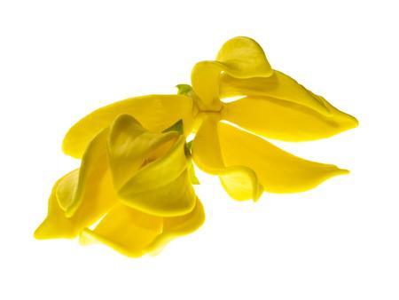 fragrant flowers of climbing ylang-ylang, ilang-ilang, manorangini, hara-champa or kantali champa on white background.