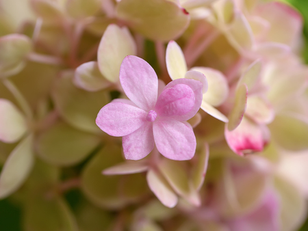 Macro image, Close up pink Hydrangea flower.