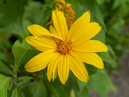 Yellow Mexican sunflower or Tithonia diversifolia flower.