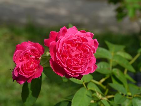 Close up Dark pink of Damask Rose flower (Rosa damascena) with blur background. 版權商用圖片