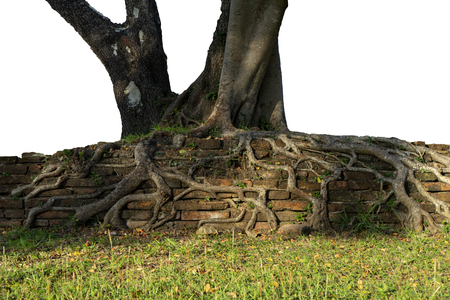 Big roots on the old brick with white background. Banco de Imagens