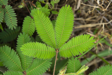 Close up leaves of sensitive plant, sleepy plant or the touch-me-not tree (Mimosa pudica).
