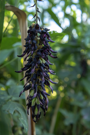 Close up Mucuna pruriens flower.