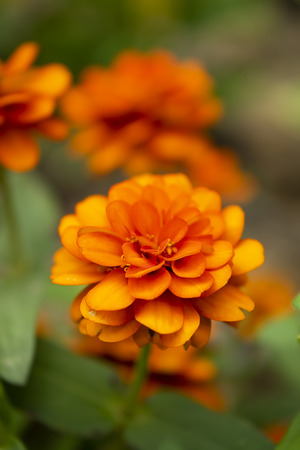 Close up of Narrowleaf Zinnia or Classic Zinnia flower. (Scientific name Zinnia angustifolia Kunth)