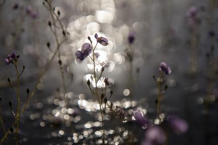 Soft focus Underwater flower of Utricularia warburgii plant or Lentibulariaceae in blur background with bokeh and sunlight.
