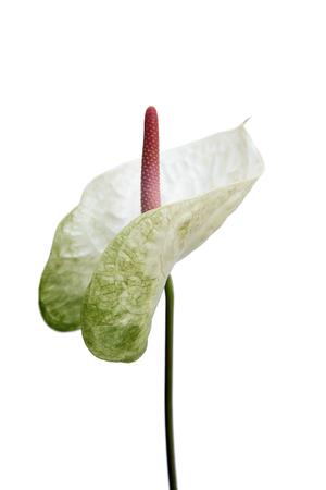 Close up white Anthurium flower on white background. Фото со стока - 122585400
