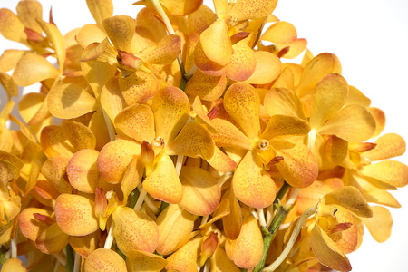 beautiful Yellow orchid flower on white background.
