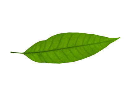 Close up mango leaf on white background Stock Photo