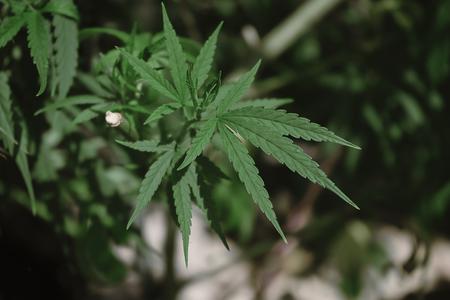 Close up Green Marijuana or Thai stick leaves with blur background. (Cannabis sativa indica) Cannabis vegetation plants, hemp marijuana CBD.