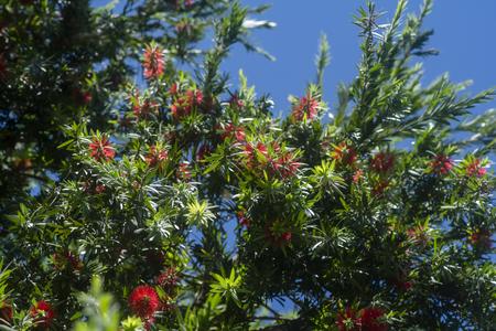 Weeping Bottle Brush flower. (Callistemon Viminalis)