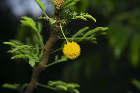 Close up Acacia Farnesiana flower in dark background.