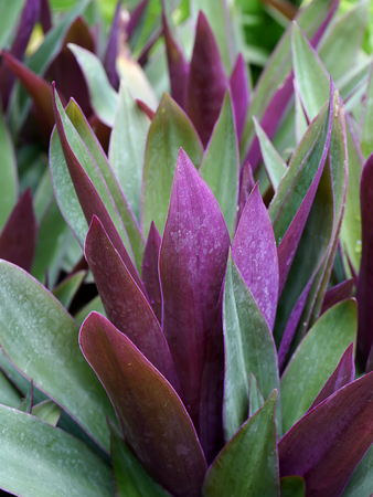 Close up on purple and green leaves of Boat-lily, Oyster Lily plant (Scientific name Tradescantia spathacea)