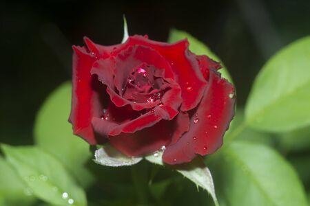 Dark red rose flower (Rosa damascena) with water drop.