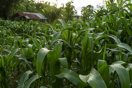 Close up the leaves of corn in Agriculture Farm