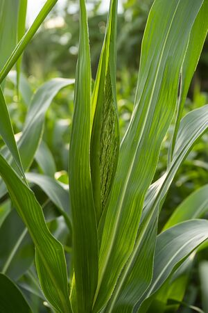 Close up the flower of corn with leaves in Agriculture farm Stockfoto