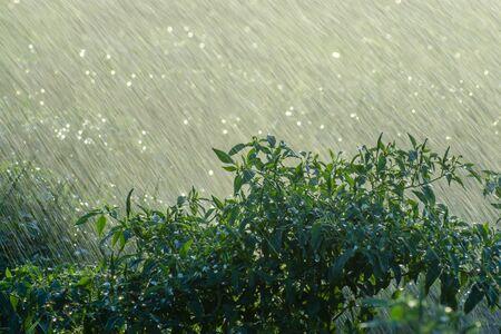 Grüne Chilipflanze mit Regenfall in der Regenzeit. Un-Fokus auf dieses Bild. Standard-Bild