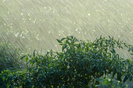 Green chili plant with rain fall in rains season. un-focus on this image.