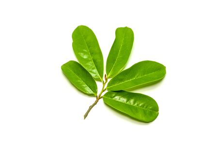 Close up of Soursop leaves on white background (Annona muricata)