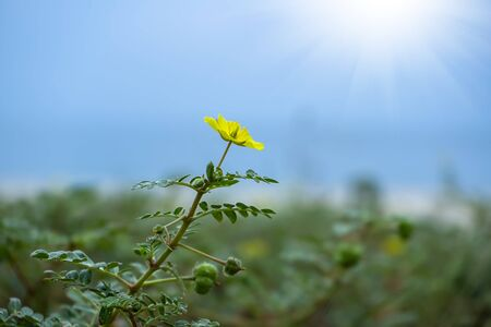 The yellow flower of devil's thorn (Tribulus terrestris plant) on the beach with blur background. 免版税图像