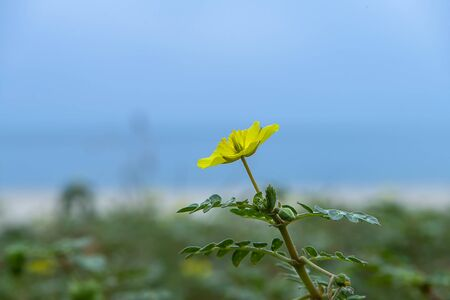 The yellow flower of devil's thorn (Tribulus terrestris plant) on the beach with blur background. 스톡 콘텐츠