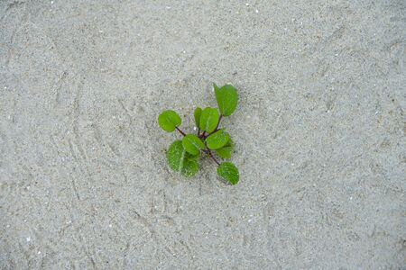 Ipomoea pes-caprae Sweet or Beach Morning Glory plant on the beach. (Scientific Name : Ipomoea Pes-caprae) Stock Photo