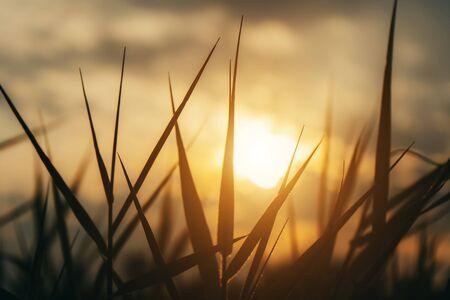 Bliska sylwetka trawy pozostawia światło słoneczne w kolorze vintage.