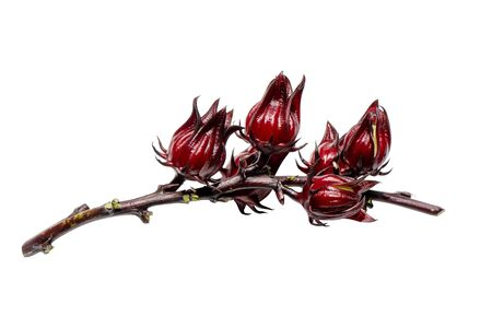 Close up Hibiscus sabdariffa or roselle fruit isolate on white background with clipping path.
