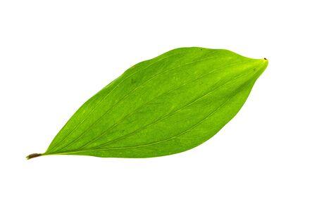 Close up of Acacia mangium leaves isolate on white background
